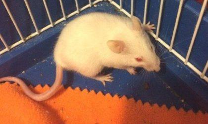 Il topino che aveva destato paure nei nuovi locali del Provveditorato è ora ospite di Anpana