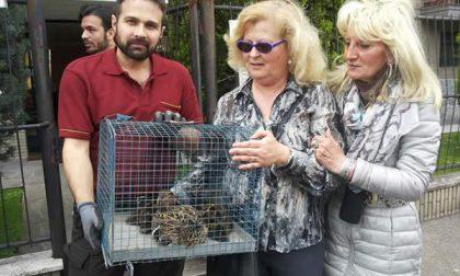 15 piccoli di anatra e la loro mamma trovati in mezzo a via Galilei
