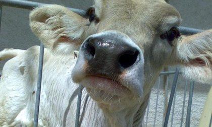 Allevamenti bovini a rischio per il caldo