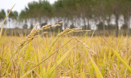 Agronomi e forestali per il riso novarese