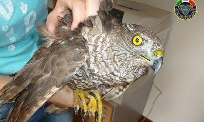 Astore ferito ad un'ala recuperato ad Olengo