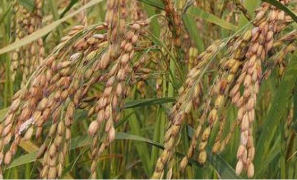 Dazi sul riso, l&#8217&#x3B;appello al ministro di Confagricoltura Piemonte