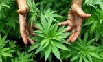 Verbania carabinieri scoprono una serra di marijuana in garage