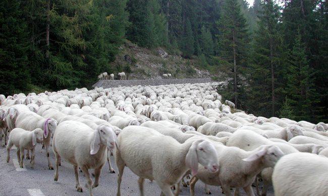 Treno travolge gregge di pecore: è strage