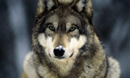 Censimento del lupo: in 170 sulle tracce del predatore per capire come tenerlo lontano