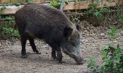 Danni da fauna selvatica: nel 2020 in Piemonte oltre 5mila segnalazioni