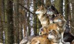 Lupi avvistati poco sopra Varallo