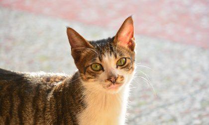 """Covid, primo caso di variante inglese su un gatto """"novarese"""""""