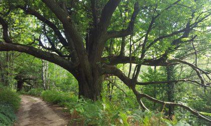 """Luca Bona """"Salviamo l'albero più anziano del nostro territorio"""""""