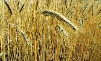 Coldiretti su grano: al via la trebbiatura con -10% raccolti per clima pazzo