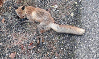 Crudeltà disumana: cucciolo di volpe con zampe legate da fil di ferro e bocca chiusa con nastro adesivo