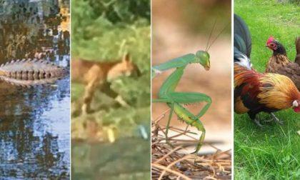 Il coccodrillo varesino, il puma comasco.. strani avvistamenti