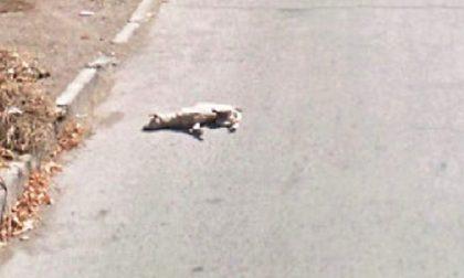 Cane travolto da decine di auto: scena straziante