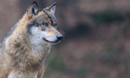 Il lupo attacca negli alpeggi della Val Vigezzo