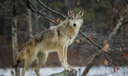 Piano di contenimento dei lupi. Il Piemonte pronto ad appoggiare l'idea