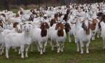 Rubano 30 caprette in un'azienda agricola