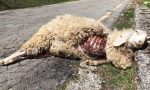 Valsesia pecore sbranate dai lupi: sconcerto tra i pastori