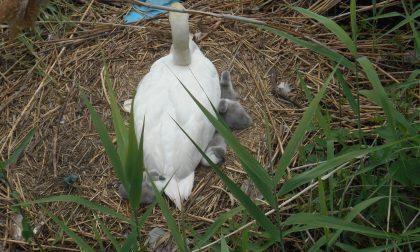 Nei canneti di Dormelletto nascono 5 cigni – la foto che fa riflettere