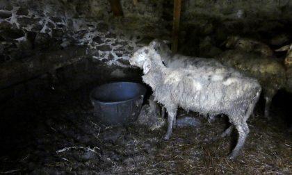 Tutela degli animali: sequestrate 12 pecore maltrattate