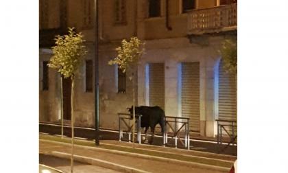 Mucca a spasso per Arona, uccisa questa mattina a Meina: divampa la polemica