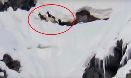 Lupi attaccano capre rimaste bloccate sulla neve  VIDEO