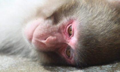 Esperimenti sulle scimmie: liberati nove macachi