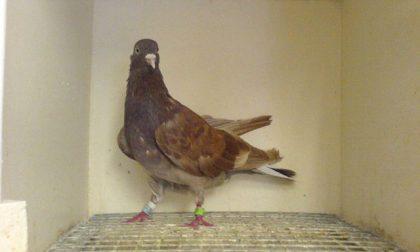 Gabbie di piccioni per nascondere la droga: tre arresti