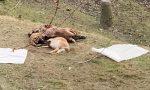 Pecore sbranate in collina: è ancora allarme lupi