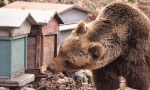 Orso goloso distrugge arnie a pochi passi dalle case in Ossola