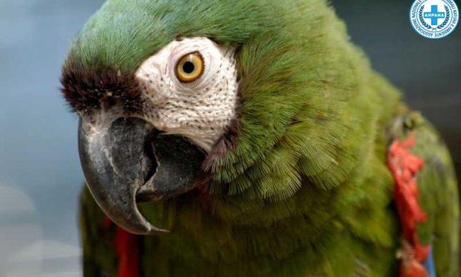 Anpana Novara recupera un pappagallo ara mimetizzato tra le foglie