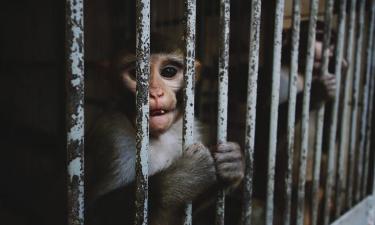Esperimento sui macachi giudicato troppo crudele: il Consiglio di Stato appoggia gli animalisti