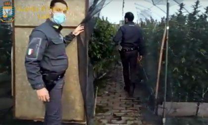 Il video della piantagione di marijuana (non legale) più grande d'Italia