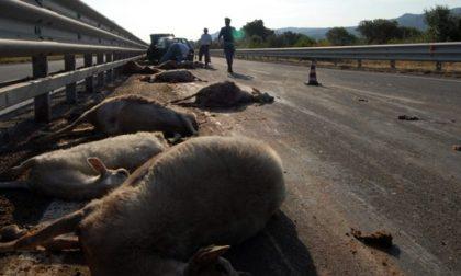 Alluvione Vco: annegate oltre 600 pecore e capre nel parco Val Grande