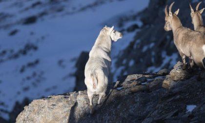 Stambecco completamente bianco e senza corna avvistato a 3000 metri