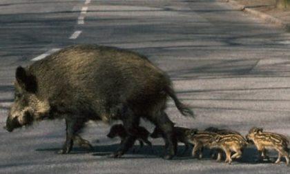 Mamma cinghiale e suoi piccoli sulla provinciale Grignasco-Borgosesia