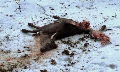 Capriolo sbranato: in alta Valsesia il lupo torna a farsi vivo