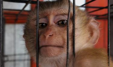 Sì a sperimentazioni invasive sui macachi: Consiglio di Stato respinge ricorso della Lav