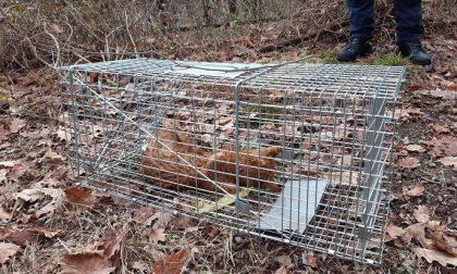 Gatto senza microchip muore intrappolato in una gabbia