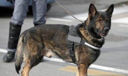 Bocconi avvelenati nelle aree di sgambamento: a Novara arriva il cane antiveleno