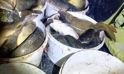 Denunciati a Trecate: trasportavano 300 chili di pesci catturati illegalmente