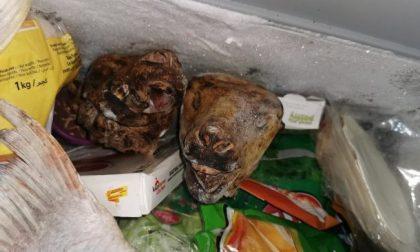 Scoperta macelleria degli orrori: sporcizia e merce in putrefazione