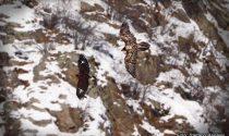 A Premosello osservato il più grande avvoltoio d'Europa dai carabinieri forestali della Val Grande