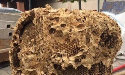 Un nido di calabroni da record nel campanile