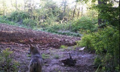 Fotografati a Divignano un lupo e anche uno sciacallo