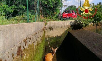 Capriolo caduto nel canale Mora: i pompieri fanno deviare l'acqua per salvarlo