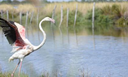 Da Parco Pallavicino al Delta del Po: a lieto fine il salvataggio del fenicottero rosa