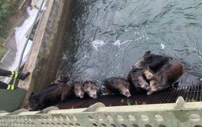 Venti cinghiali cadono nel canale della centrale elettrica tra Fara e Sizzano